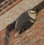 San Pietro di Morubio, salvato lo sciame di api sul campanile