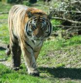 Bussolengo, riapre il Parco Natura Viva: tra i nuovi arrivati Botsman, giovane maschio di tigre siberiana