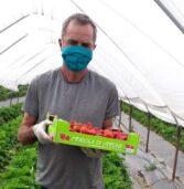 Agricoltura, ottima la stagione delle fragole ma manca manodopera. Valerio: «Vengono tanti studenti ma non resistono al caldo sotto i teloni»