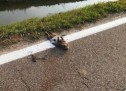 Gazzo Veronese, le striscie bianche stradali sui cadaveri delle nutrie