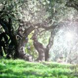 """Presentata a Roma la """"Camminata tra gli olivi"""" che si terra a Illasi e Brenzone"""
