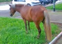 Vigili urbani a caccia del cavallo fuggito da un maneggio