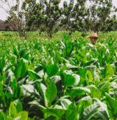 Tabacchicoltura, l'Italtab di Casaleone si aggiudica il contratto pluriennale con la British American Tobacco
