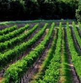 Emergenza Coronavirus, domani vertice dei Consorzi del vino con l'assessore regionale all'agricoltura